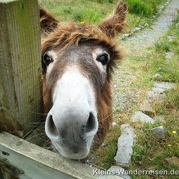 Irland Donkey