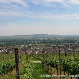 Rheinsteig, Weinberge bei Hallgarten